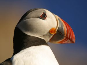 Atlantic Puffin head