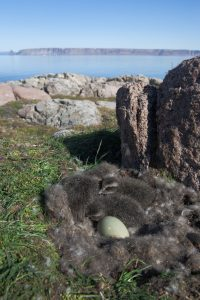 Common Eider nest with ducklings