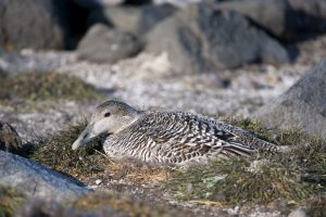 Hen Common Eider incubating eggs
