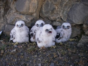 Peregrine Falcon chicks at the most northern known Peregrine nest in the world.