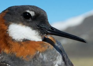 Red-necked Phalarope head